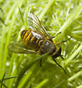 Is gold striped Horse fly Hybomitra zonalis? - Stonemyia