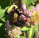 Brown belted bumblebee? - Bombus griseocollis