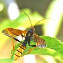 Ichneumon Wasps (Ichneumonidae)  - Trogus flavipennis