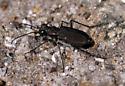 Tiger beetle on mountain summit, Maine - Cicindela duodecimguttata