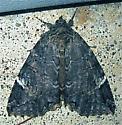 Locust Underwing (Euparthenos nubilis) - Euparthenos nubilis