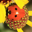 Ladybeetle - which one? - Coccinella septempunctata