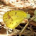 Little Sulfur Butterfly - Pyrisitia lisa