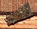 Dark Moth - Condica
