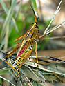 Mature Lubber Grasshopper - Romalea microptera - male