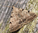 litter moth - Zanclognatha theralis - male