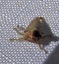 Platycotis treehopper? - Platycotis tuberculata