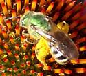 Metallic Green Bee - Agapostemon virescens - female