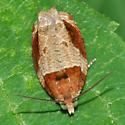 Moth - Olethreutes ferriferana