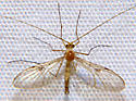 Predatory Fungus Gnat - Macrocera - male