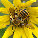 Bee on Helianthus sp. - Megachile fortis - male
