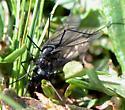 Crane Fly? - Nephrotoma altissima