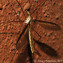 Crane Fly 002 - Tipula sayi