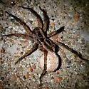 What kind of wolf spider? - Schizocosa - female