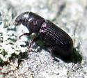 Beetle  - Stenoscelis brevis