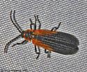 Net winged beetle - Eros humeralis