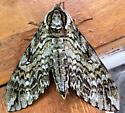 large brown moth - Ceratomia undulosa