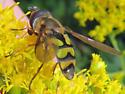 Didea fuscipes - male
