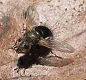 Is this a Tachinid? - Epalpus signifer