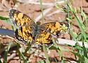 Pearl crescent? - Phyciodes tharos