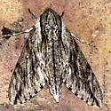 Plebeian Sphinx Moth - Paratrea plebeja
