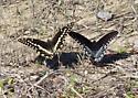 A Swallowtail - Papilio troilus