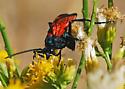 Tarantula Hawk #2 For ID - Pepsis thisbe - male