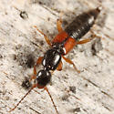 Rove Beetle - Tetartopeus convolutus