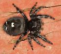 Bold Jumping Spider  - Phidippus audax - female