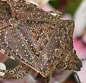 Moromorpha or Euschistus? - Euschistus biformis