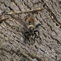 Robberfly - Laphria janus