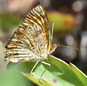 Crescent Butterfly - Possibly Field? - Phyciodes pulchella