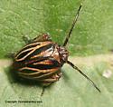 Black Leaf-Leg - Phylloscelis atra