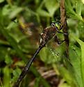 Dragonfly - Cordulia shurtleffii