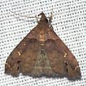 Ambiguous Moth - Hodges #8393 - Lascoria ambigualis - male