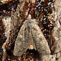 Luke-warm Pinion Moth - Lithophane tepida