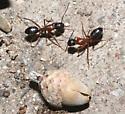 Red & Black nocturnal ants - Camponotus vicinus