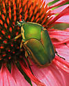 Green Beetle on Purple Coneflower - Cotinis nitida