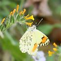 Desert Orangetip - Anthocharis sara - female