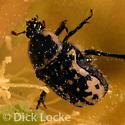 Beetle on cactus flower - Euphoria kernii