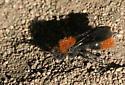 Winged Velvet Ant - Dasymutilla californica - male