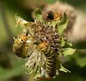 Basilodes chrysopis caterpillar extracting then holding seeds while eating - Basilodes chrysopis