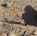 unkn wasp - Ammophila