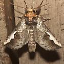White-headed Prominent Moth - Hodges #7951 - Symmerista