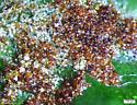 Mites - Acalitus ferrugineum