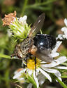 Spiky-reared fly - Archytas