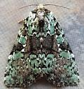 Leuconycta lepidula (Marbled-Green Leuconycta) - Leuconycta lepidula