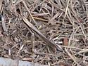 Unknown brown grasshopper - Mermiria bivittata - female