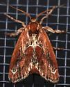 purple-crested slug moth - Adoneta spinuloides