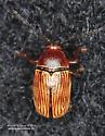 Coleoptera - Cryptocephalus